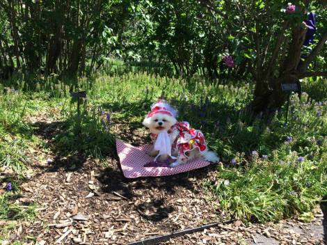 Bella Mia take a rest and sits among the Virginia Bluebells