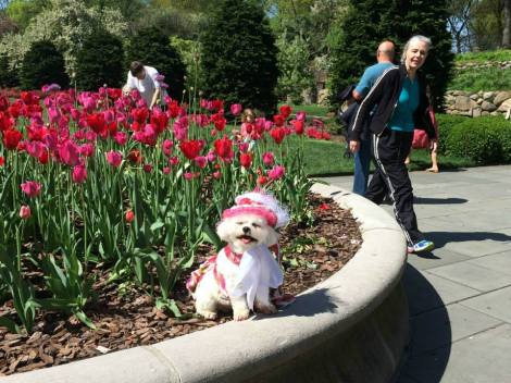 The tulips planted in the Annual Bed have begun to open and create a gorgeous color display in the Lily Pool Terrace ~ Bella Mia greets the visitors as they enter