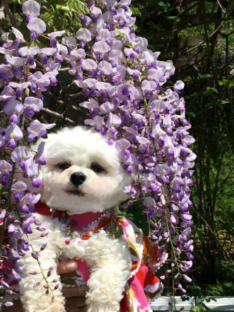 Lilacs fills the air and Bella Mia gets an idea for a new Hat!