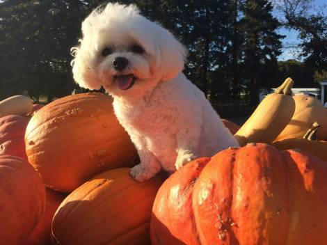 I told my Mommy I wanted the wery biggest pumpkin for our Twanksgiving pies ~ Hugs from Bella Mia — at Woodside Orchards Hard Cider